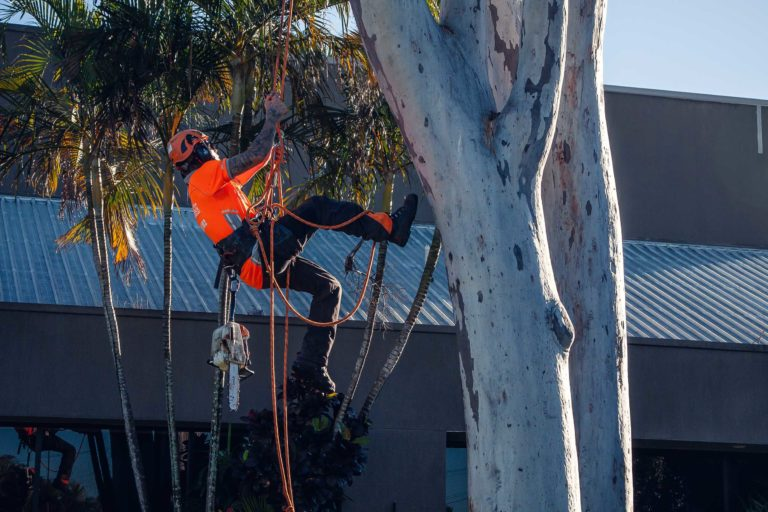 palm tree removal Ballarat
